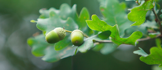 Le gland du chêne