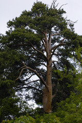 Ancient gaint pine-tree
