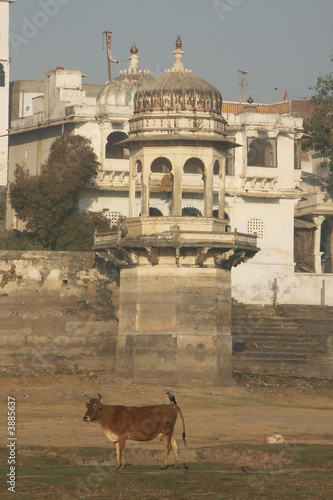 Cow on a dry riverbed in Udaipur