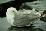 Seagull keeping warm poster