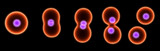 dividing cell poster