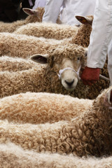 Sheep judging at Heckington Show, Lincolnshire, England