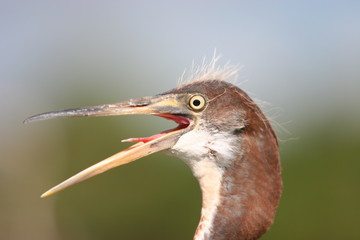 BLUE HERON WILD FLORIDA'S BIRDS