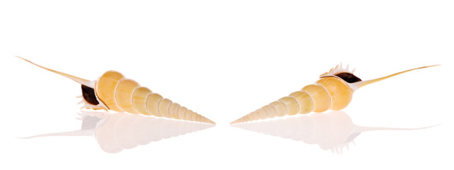 Shinbone Tibia shells isolated on white background