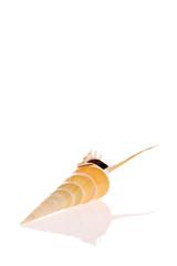 Shinbone Tibia shell isolated on white background
