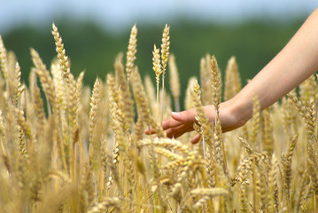 Woman's hand slide threw the golden field of wheat