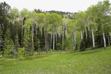 Grove of Quaking Aspens trees high in the mountains poster