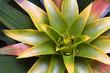 Multi-Colored Bromeliad