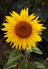 Big sunflower and small bee