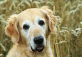 golden retriever in field wheat poster