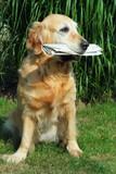 golden retriever -  assistant  mailman poster