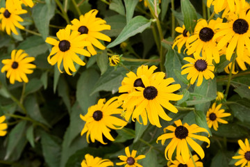 Yellow and Brown Cone Flowers, Also Known as Echinacea