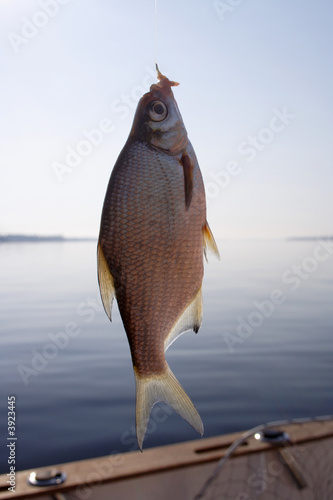 a raw bream on a hook