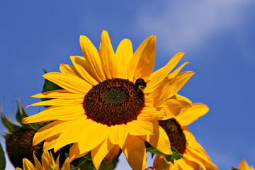 Sunflower with bumble-bee and blue sky