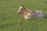 A longhorn steer in a grassy cow pasture.