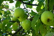 Green Apple Grow in Autumn Orchard