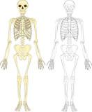 A human skeleton poster
