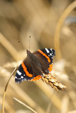 Red Admiral butterfly (Papilon Vulcain)  poster