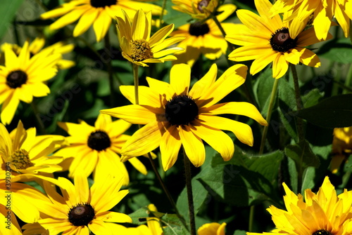 Garden of black eyed susans