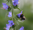 The bumblebee on a flower collects sweet nectar