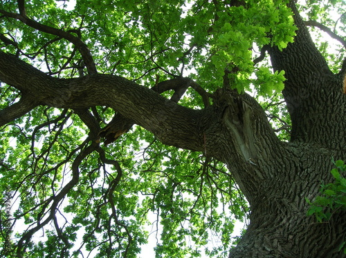 800 year oak tree