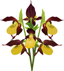 Yellow lady-slipper, Cypripedium calceolus (lat)