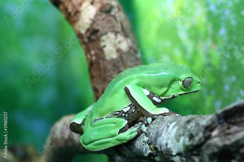 Foto op Plexiglas Kikker Giant Waxy Monkey Tree Frog