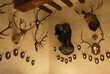 Collection de trophées de chasse