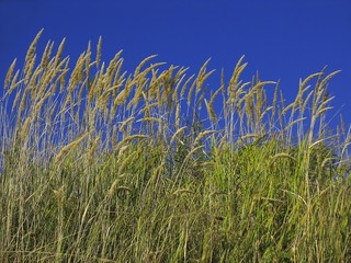 line of dry grass under blue sky