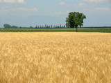 Wheat field in spring and lonely tree - 3966629