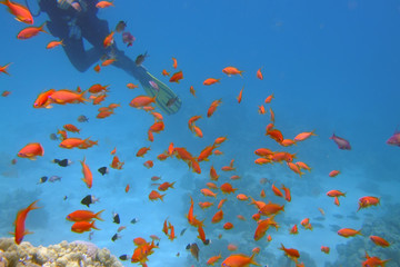 Swum Away (Golden Fishes and a Yellow Fin)