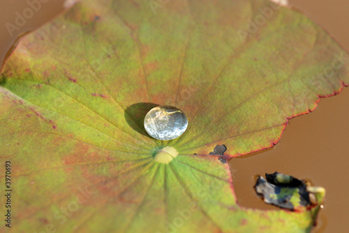 water droplets and lotus leaf inside the pond