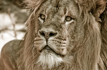big african male lion