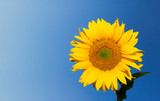 sunflower over deep blue sky background with copyspace poster