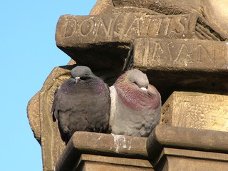 Pigeons on Charles Bridge Prague
