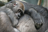 Baby Gorilla Napping poster