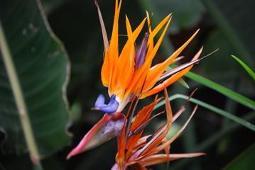 Paradiesvogelblume 2
