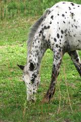 Leopard Appaloosa (Equus caballus)