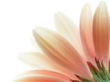 Fototapeta płatek - kwiat - Kwiat