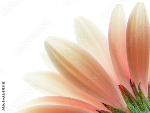 Staande foto Gerbera pink gerbera