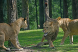 two lionesses attacking male lion poster