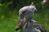 whale-headed stork, shoebill poster