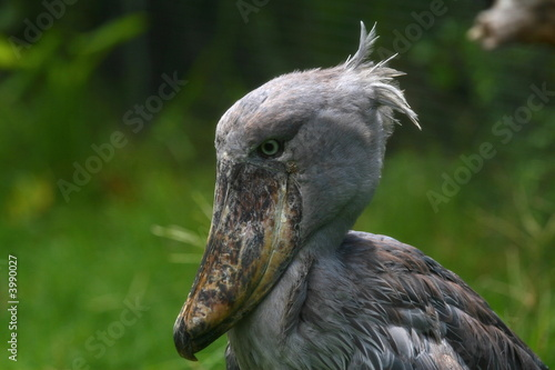 whale-headed stork, shoebill