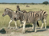 Zebras at a waterhole in Etosha Nationalpark