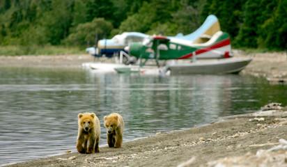 Grizzly cubs and float planes, Katmai NP, Alaska