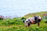 A spotty pig in wildflowers poster