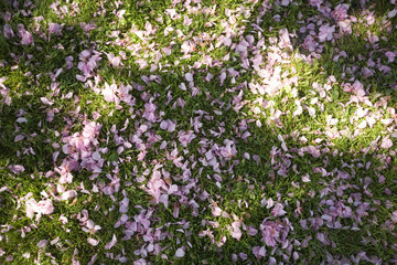 grass covered with cherry blossoms