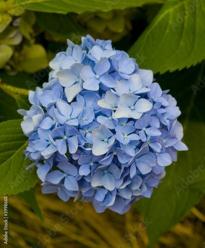 Ortensia blu di udue foto stock royalty free 3998668 su - Ortensia blu ...