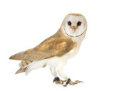 Common Barn Owl (4 mounths) poster