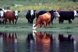 Cattle Watering poster